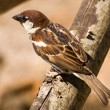 Brown songbird sparrow — Stock Photo #10808659