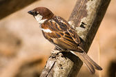 Brown songbird sparrow — Stock Photo