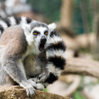 Adult specimen of Lemur inside Rome's Biopark — Stock Photo