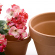 Stock Photo: Geraniums with flowerpot