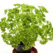 Fresh parsley — Stock Photo #12355344
