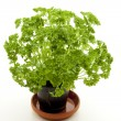 Fresh parsley — Stock Photo #12355377