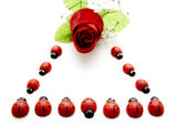 Ladybirds with Red Rose — Stock Photo