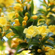 Carolina Jessamine — Stock Photo
