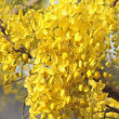 Golden Shower Tree - Photo