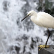 Egret — Stock Photo #10908188