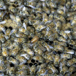 Stock Photo: Queen surrounds by bees.