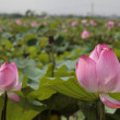 Stock Photo: Pink lotus