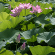 Pink lotus blooms in summer. — Stock Photo