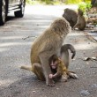 Foto Stock: Monkeys in the city in danger