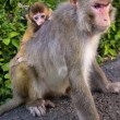 Monkey mother with cute little baby — Stok fotoğraf