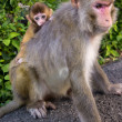 Foto Stock: Monkey mother with cute little baby