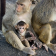 图库照片: Monkey and little baby on the rock