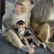 Foto de Stock  : Monkey and little baby on the rock
