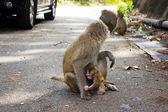Apen in de stad in gevaar — Stockfoto