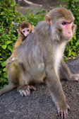 Monkey mother with cute little baby — Stock Photo