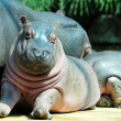 Baby hippo — Stock Photo