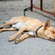 Dog sleep — Stock Photo