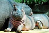 Baby hippo — Stock Photo