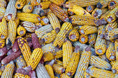 A lot of old corn, maize. — Stock Photo
