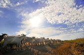 Many goats — Stock Photo