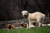White dog guarding sheep — Stock Photo