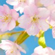 Blooming Cherry — Stock Photo #10781401