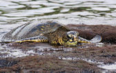 Green turtle (Chelonia mydas) at Big Island, Hawaii 04 — Stockfoto