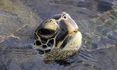 Green turtle (Chelonia mydas) at Big Island, Hawaii — Stockfoto