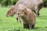 Young Capybara (Hydrochoerus hydrochaeris) — Stock Photo