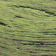 Stock Photo: Teplantation at Sao Miguel (Azores Islands) 02