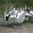 A Pied Avocet (Recurvirostra avosetta) take a bath — Stock Photo