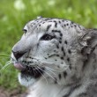 Young Snow leopard (Panthera uncia) 02 — Stock Photo #10823329