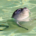 Young harbor seal (Phoca vitulina) 02 — Stock Photo
