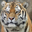 Stock Photo: Portrait of Siberitiger (Panthertigris altaica) 02
