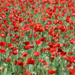 Close up view of a Poppies field - Stock Photo