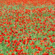 Poppies field — Foto de Stock