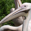 Portrait Great White Pelican (Pelecanus onocrotalus) — Stock Photo