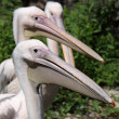Great White Pelican (Pelecanus onocrotalus) - Stock Photo