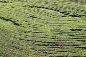 Tea plantation at Sao Miguel (Azores Islands) 02 — Stock Photo