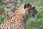 Female cheetah (Acinonyx jubatus) 03 — Stock Photo