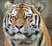 Portrait of a Siberian tiger (Panthera tigris altaica) 02 — Photo