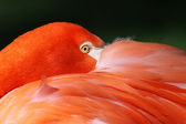 Close-up view of a Greater Flamingo (Phoenicopterus roseus) — Stock Photo