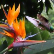 Royalty-Free Stock Photo: Flying Hummingbird at a Strelitzia flower