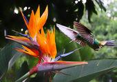 Koliber latający w strelitzia kwiat — Zdjęcie stockowe