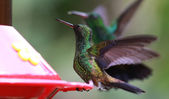 Copper-rumped Hummingbirds (Amazilia tobaci) — Stock fotografie