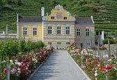 Vineyard at river Danube (Wachau, Lower Austria) — Stock Photo