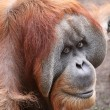 Old male Orangutan 02 - Stock Photo