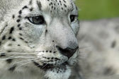 Young Snow leopard (Panthera uncia) — Foto de Stock