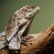 Stock Photo: Frill-necked lizard (Chlamydosaurus kingii)